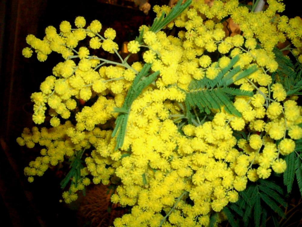 Mimosa-a-Venezia-Foto-Guido-Comin