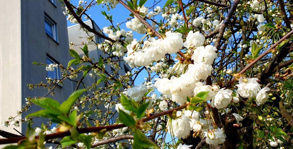 Esplode Primavera - Foto Guido Comin PoetaMatusèl