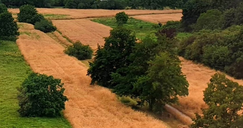 Tappeti di grano - Foto Guido Comin PoetaMatusèl